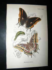 Allen & Kirby 1890's Antique Butterfly Print. Charaxes Jasius